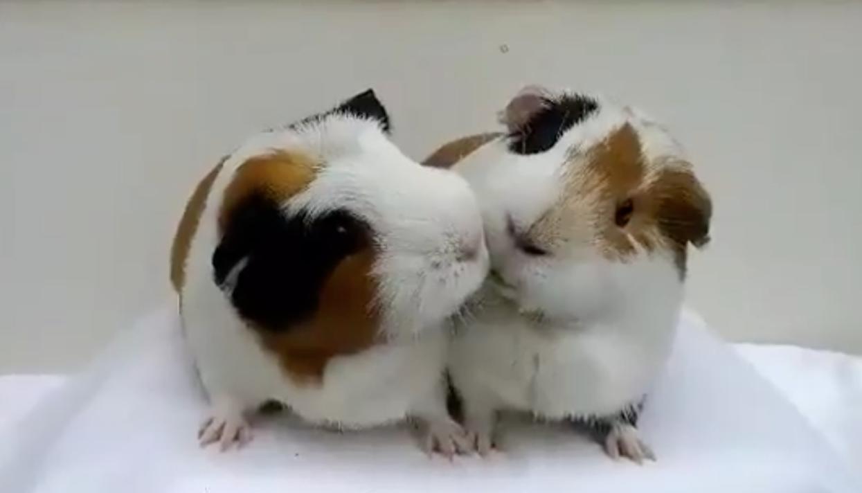Заболевание морских свинок / Статьи и советы для