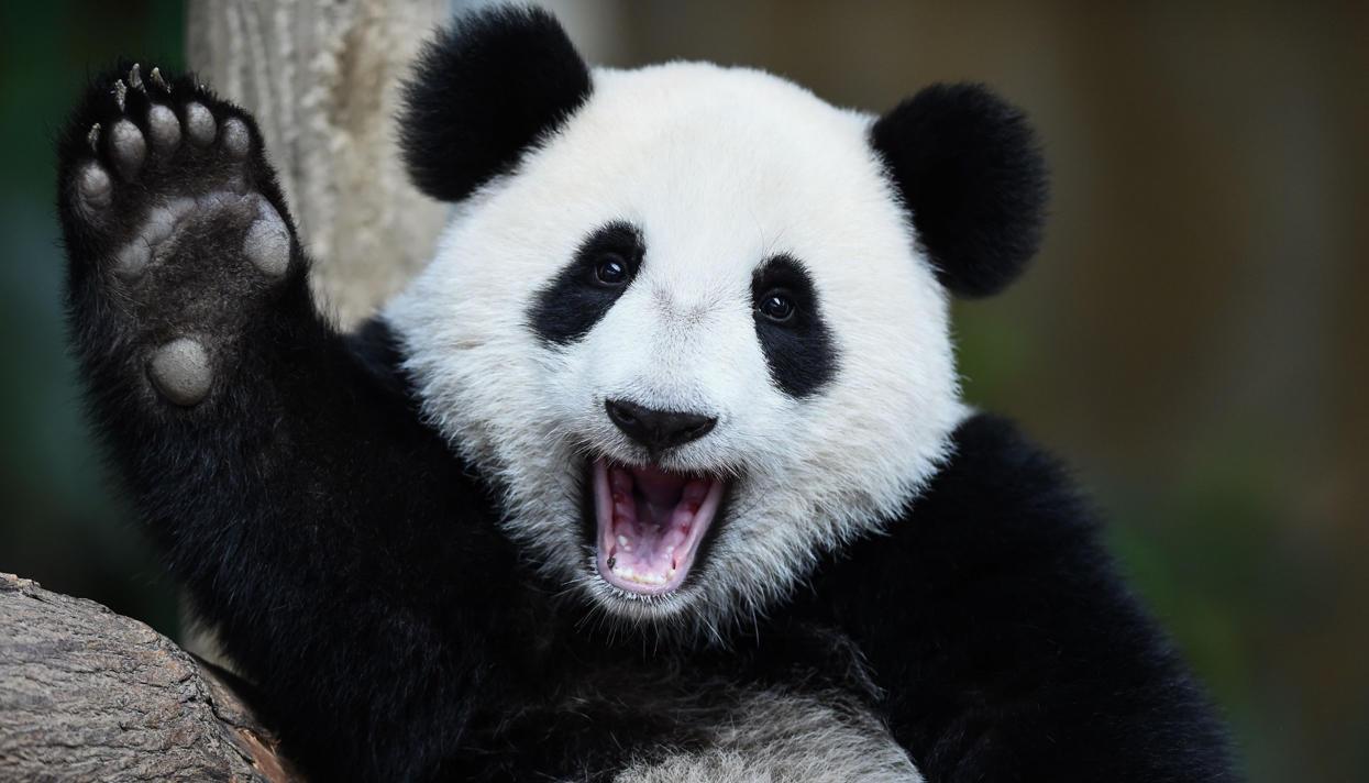 Огромных панд исключили изчисла вымирающих видов