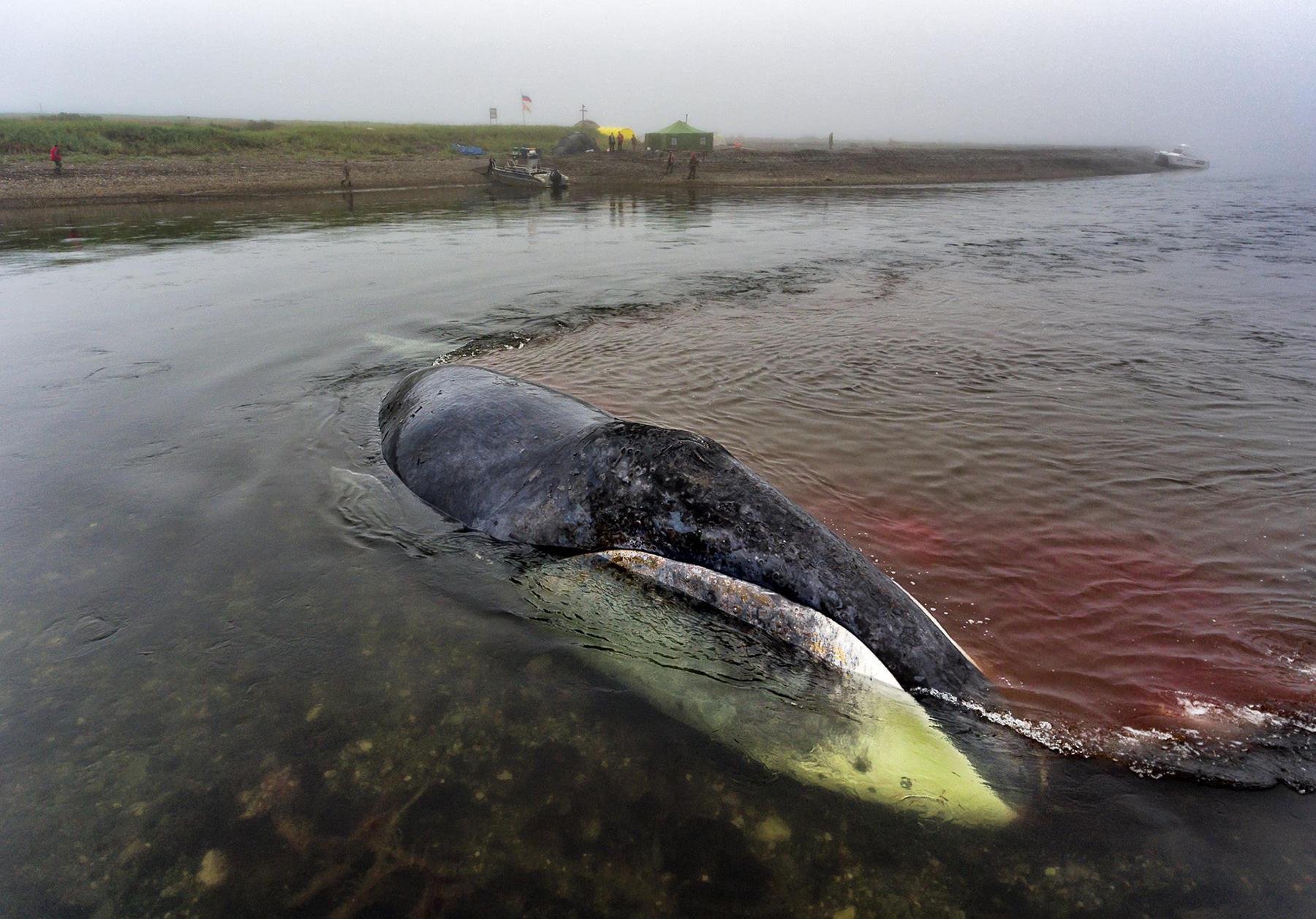 Картинки по запросу кит застрял