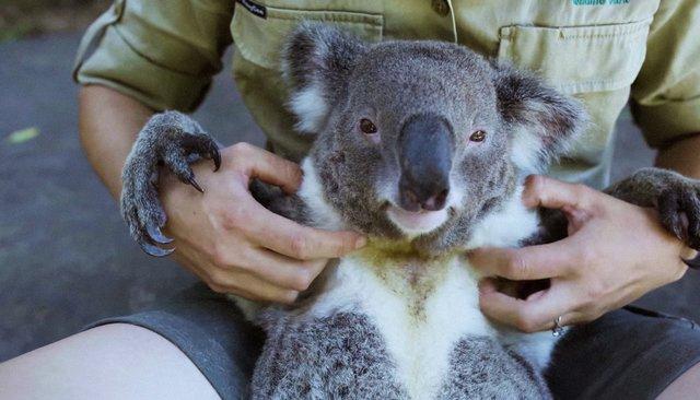 Гарри— самый расслабленный коала вмире. Посмотрите, как ему чешут живот