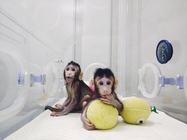 """Ученые Института нейронаук Китайской академии наук <a href=""""http://www.bbc.co.uk/news/health-42809445"""" target=""""_blank"""">объявили</a> опервом успешном клонировании приматов методом переноса ядра соматической клетки— точно также в1996 году была клонирована знаменитая <a href=""""https://ru.wikipedia.org/wiki/%D0%94%D0%BE%D0%BB%D0%BB%D0%B8_(%D0%BE%D0%B2%D1%86%D0%B0)"""" target=""""_blank"""">овечка Долли</a>. 24января новорожденные макаки, получившие имена Чжун Чжун иХуа Хуа («чжунхуа» означает «китайский народ»), были представлены публике. Успех этой методики впоследствии позволит раскрыть природу многих генетических заболеваний человека, отметили ученые."""
