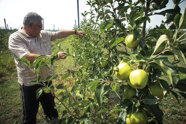 Константин Ластович всвоем яблоневом саду, июль 2018 года