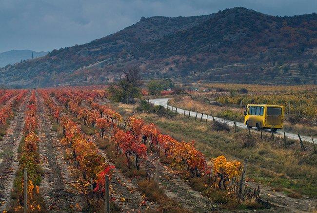 Виноградники вдоль дороги, ведущей впоселок Солнечная долина.Крым, 13ноября 2017 года