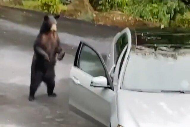 ВСША тиктокеры напугали медведя. Онпытался залезть впустую машину, ноуслышал ихкрики ипередумал