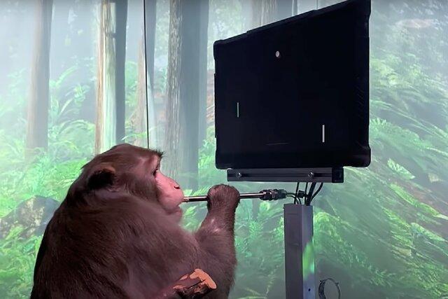 Илон Маск показал макаку, играющую на компьютере в пинг-понг силой мысли. Следующий шаг  стримить и писать в твиттер