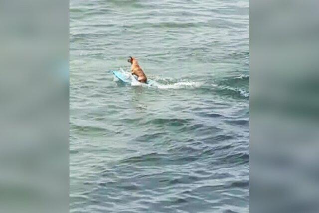 Мексиканская собака вместо мячика поймала волну  то есть прокатилась на серфе!
