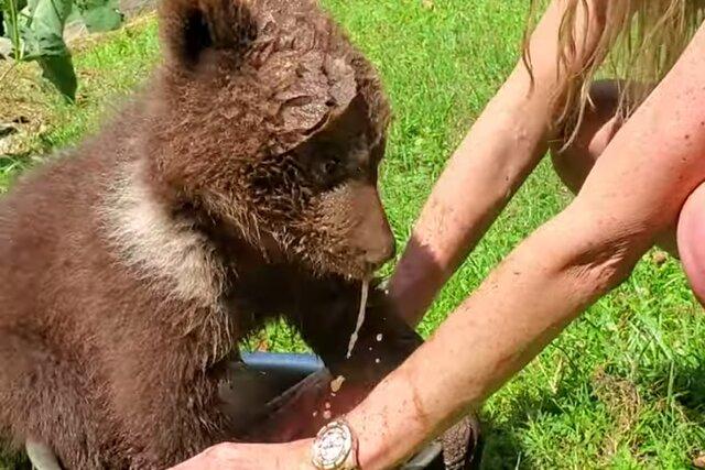 Медвежонок поплескался в миске с водой. А до этого дал на лапу (в смысле отбил пять своей человеческой подруге!)