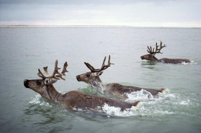 В Красноярском крае нашли 56 погибших оленей. Инспектор охотнадзора заявил, что 17 из них были застрелены. Теперь его вынуждают уволиться