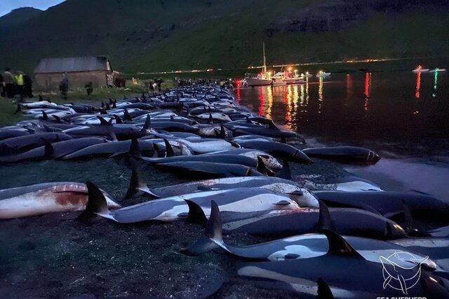 На Фарерских островах охотники на катерах и гидроциклах загнали на мелководье 1428 белобоких дельфинов. Всех до одного убили