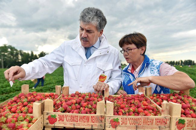 Lenin State Farm director Pavel Grudinin at a strawberry harvest. July 1, 2015