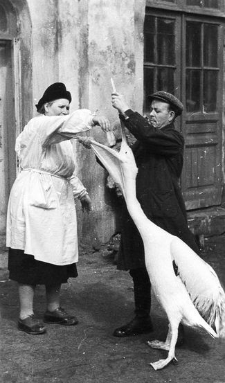 "A worker from the zoo's ornithological department, Ivan Kupriyanov, and a veterinarian give medicine to a pelican. Kupriyanov was a character in Chaplina's stories ""The Unusual Cage"" and ""Galina's pets."" 1950s"