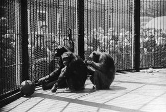 An inside view of the chimpanzee enclosure, 1950s