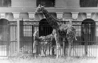 Astra the giraffe, a gift to the Leningrad Zoo on the Moscow zoo's 100th anniversary, 1964